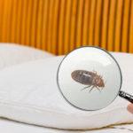 disinfestazzione-cimici dei letti cimici ecosan