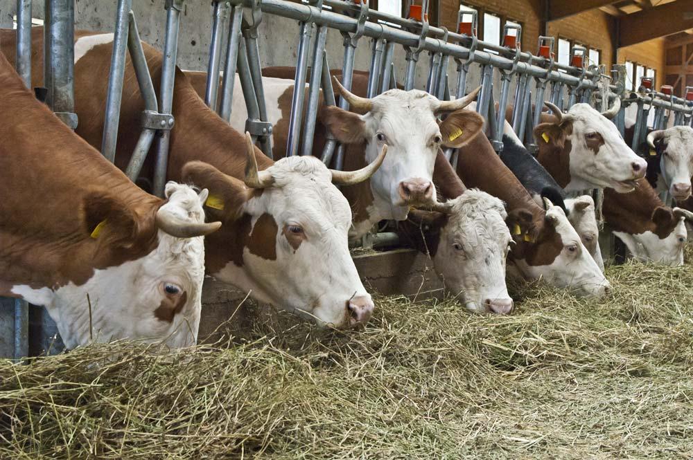Stalla bufale vacche latte mosche emergenza disinfestazione azienda bufalina
