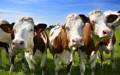 Mosche e Perdite fino a 139 kg di latte/anno