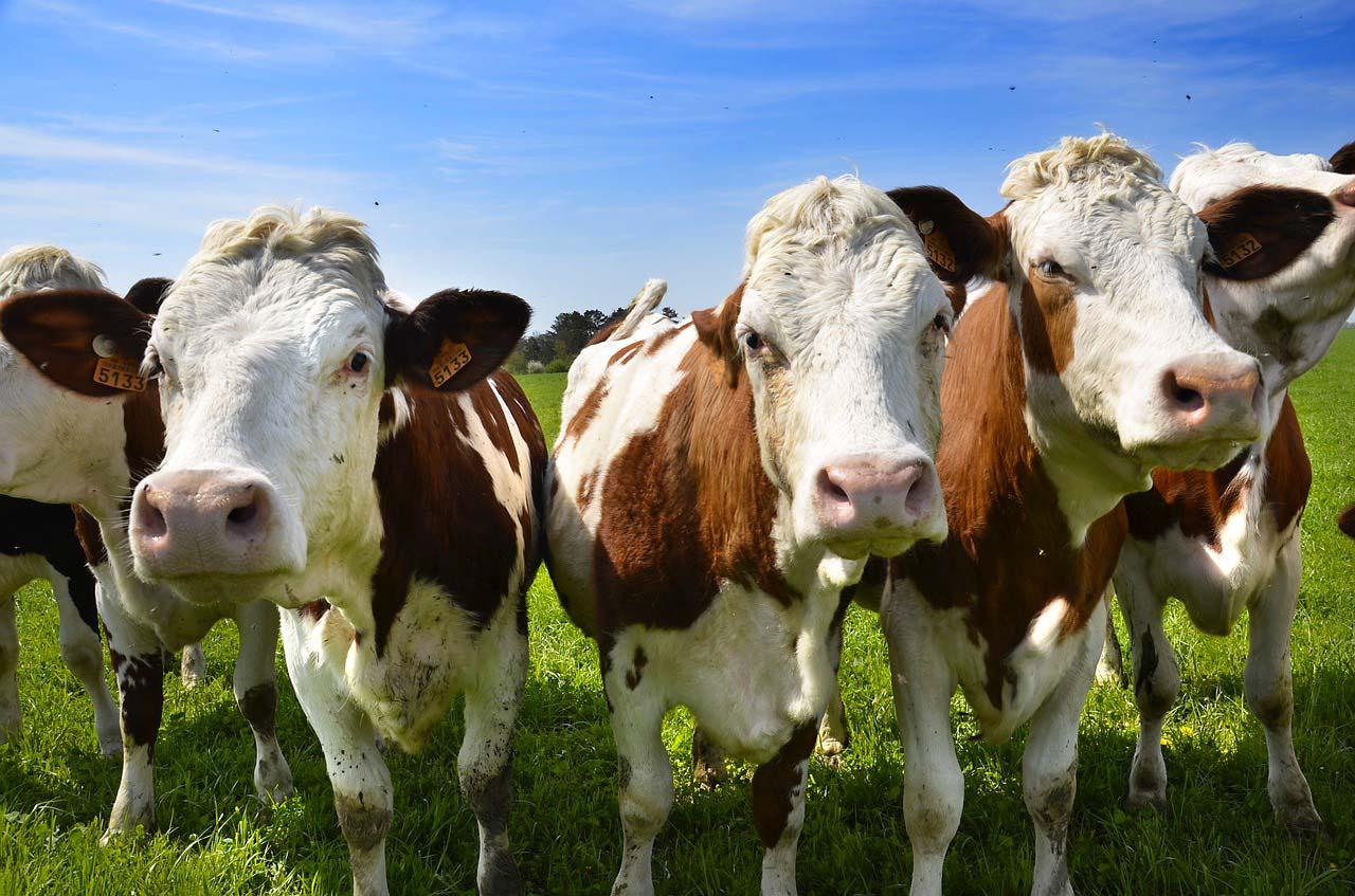 allevamento-bovini-vacche-pascolo-ecosan-disinfestazione-mosche-disinfestazione-mosche