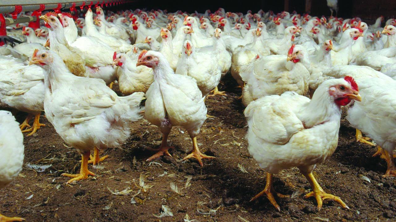 disinfestazione mosche allevamento polli produzione